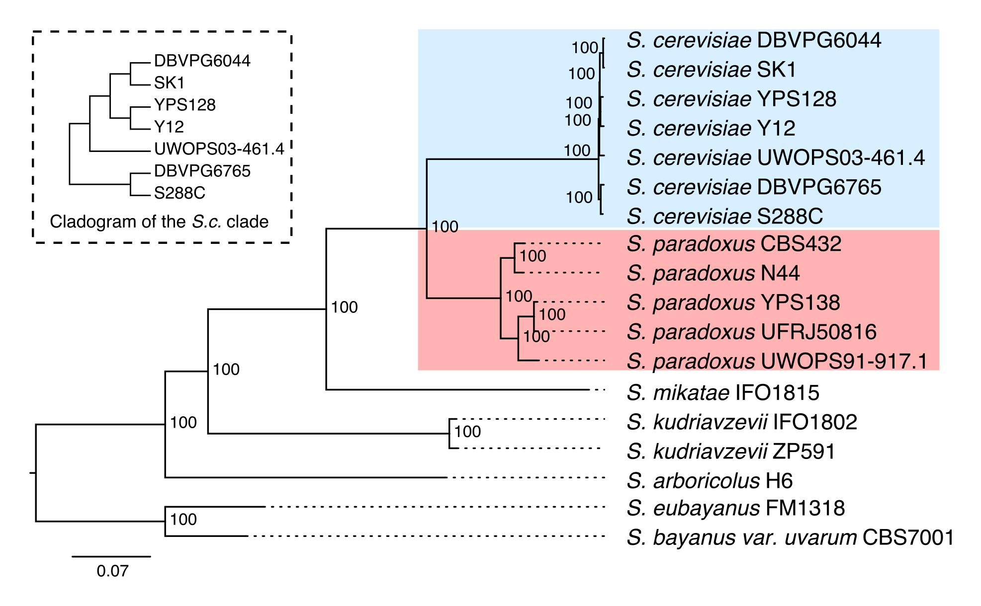 phylogeny of sampled strains
